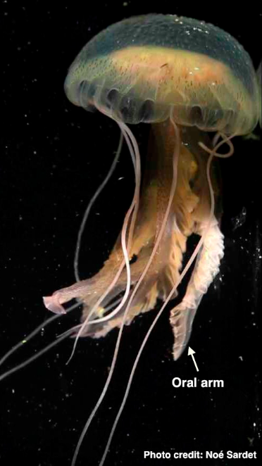 Video: the creeping, crawling jellyfish mouth | JellyBiologist