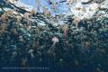 a swarm of mauve stinger jellyfish