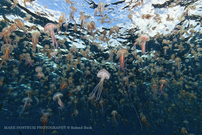 a swarm of mauve stinger jellyfish