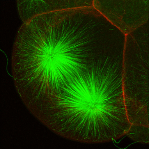 Mitotic spindle at approximately metaphase in one cell in a 16-cell embryo of the clam Acila. Microtubules in green, actin in red. Projection from serial 0.5-micron confocal sections. (George von Dassow)