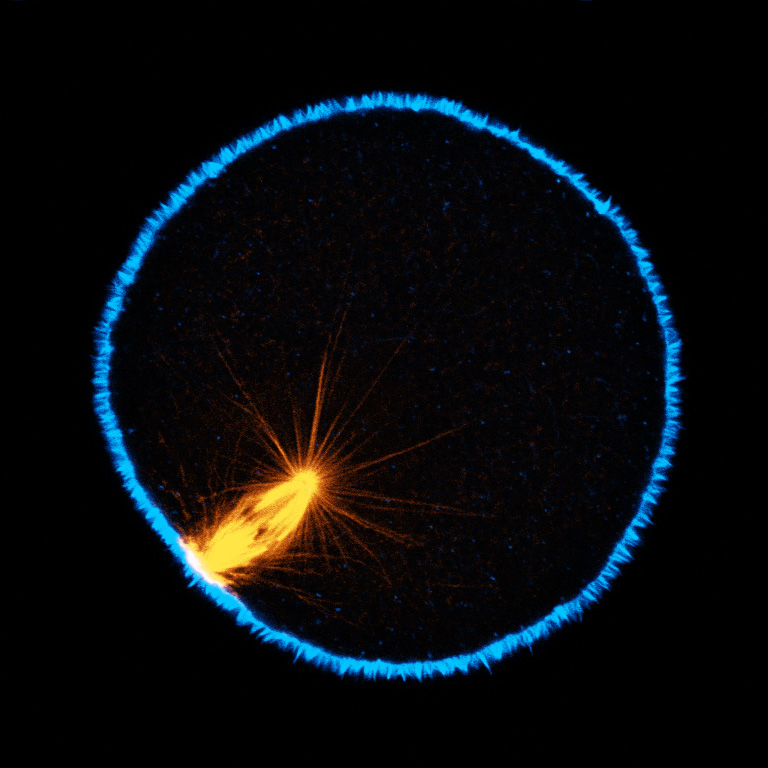 Single confocal section of an oocyte of the nemertean Cerebratulus in metaphase of first meiosis. Microtubules are orange, actin is blue; one pole of the meiotic spindle is anchored to the cortex, and the other, deep in the cytoplasm, exhibits long astral rays. (George von Dassow)