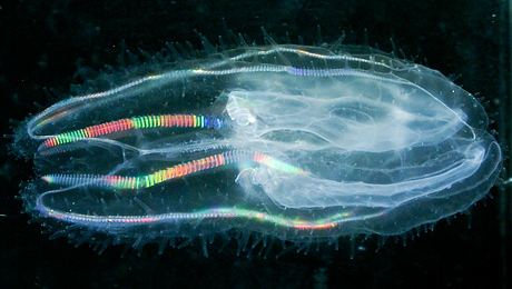 http://theoystersgarter.com/2009/03/18/new-tasmanian-comb-jelly/