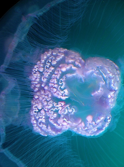 moon jelly oral arms http://www.flickr.com/photos/anel/488249833/