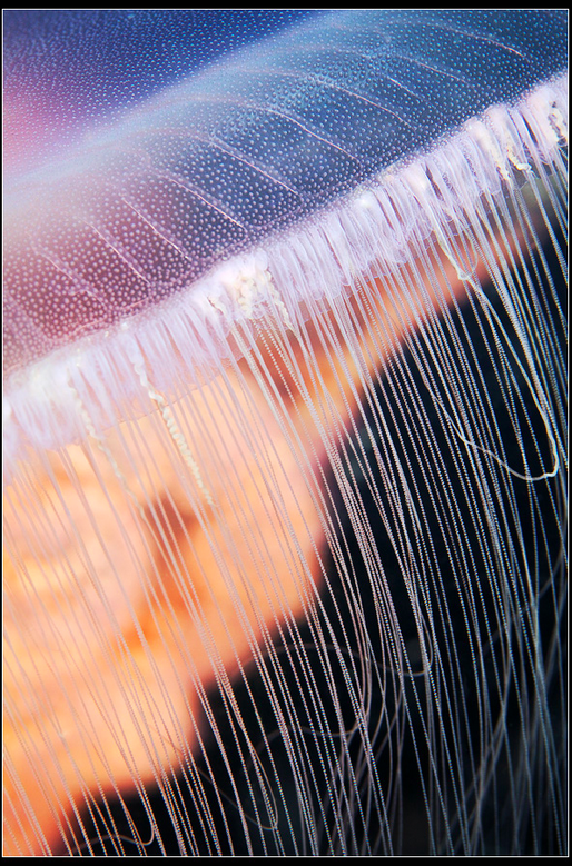 Moon jelly tentacles http://www.flickr.com/photos/a_semenov/4912574285/in/photostream/