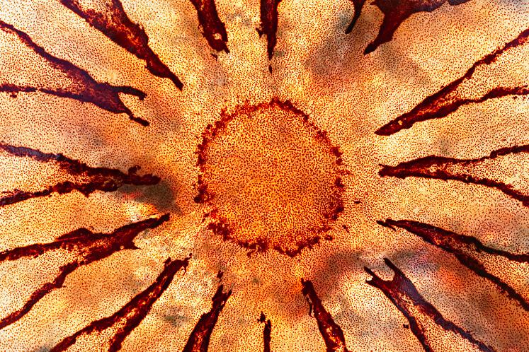 Sea nettle up close (Chrysaora sp) http://www.pbase.com/image/79639992