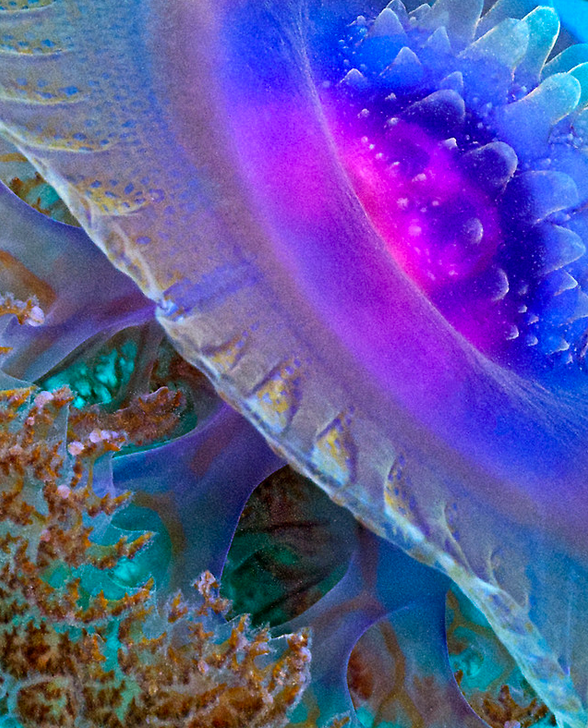 Crown jelly up close (Cephea sp) http://www.redbubble.com/people/henryjager/works/7937218-crown-jellyfish-close-up?ref=work_main_nav