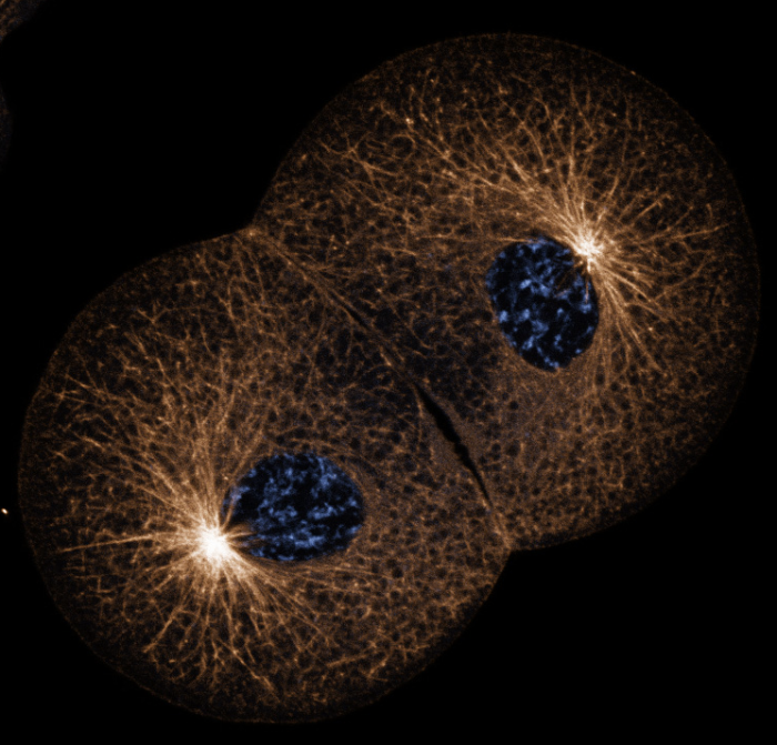 Single confocal section of a 2-cell embryo of the nemertean Cerebratulus. Microtubules are bronze and DNA is blue. (George von Dassow)