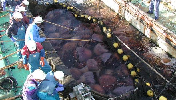 Huge nomura's jellyfish in a japanese fishing net.