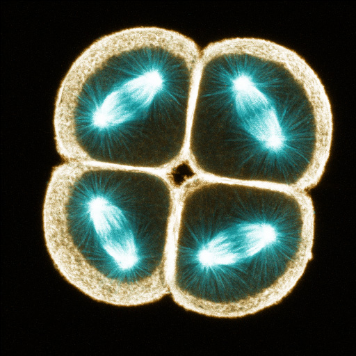 Mitotic spindles in the four animal blastomeres of an eight-cell purple urchin embryo, fixed and stained with anti-tubulin (blue) and phalloidin (orange); projected from serial half-micron sections (George von Dassow)