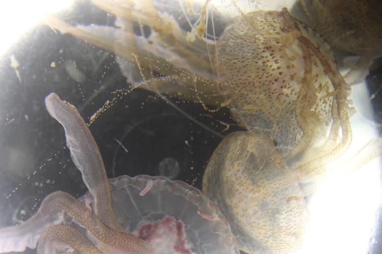 Pelagia noctiluca with long strings of eggs. Image courtesy of Dr. Martina Ferraris of Observatoire Océanologique de Villefranche sur Mer.