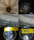"""Look at how big the peanut butter jellies get! From just a few millimeters (upper left) to about an inch (lower right). Favorite caption from the paper: """"2b. A pair of [moon jelly] specimens on day 8 of the trial, magnification 100x, scale bar is approx. 1mm. Note the color of the (contracted) specimen on the left, this specimen has recently fed and is full of creamy goodness."""""""