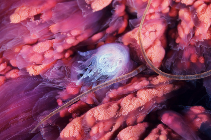 Hyperia galba hiding in the oral arms of a jelly.